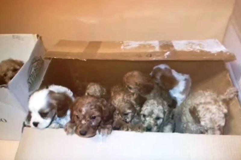 Traffico Di Cuccioli Di Cane Salvati Dalla Polstrada Giornale Di